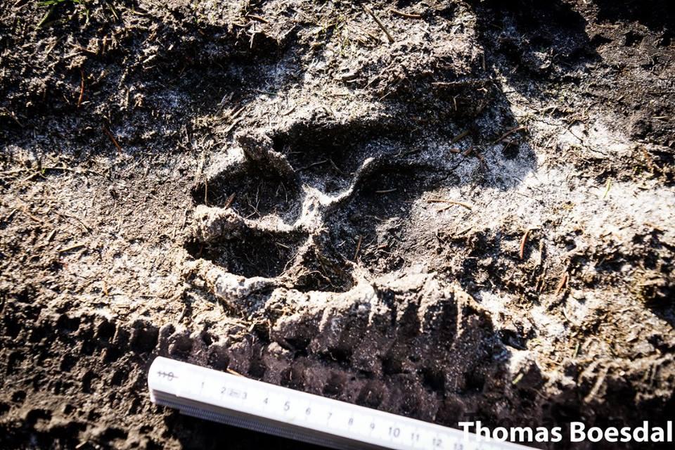 Fodspor fra ulv i Danmark